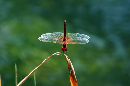 A red dragonfly perches on a green stem. The transparent wings are very high detailed photo