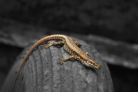 pillage: Coloured lizard on a black and white tyre