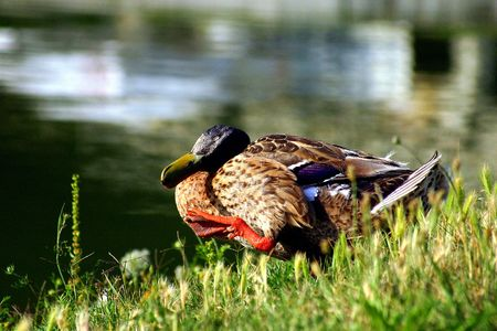 On the lakeside, a young duck is stroking its plumes in a so tender way that it seems it's dreaming about something. The smiling muzzle conveys feelings of joy and love