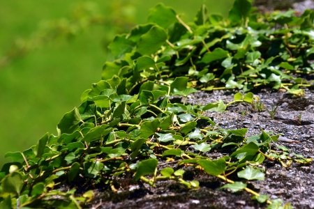 wilding: A green rambling ivy climbs up the stone bench  The nature demonstrates its strength and the exquisite treasure of its details Stock Photo