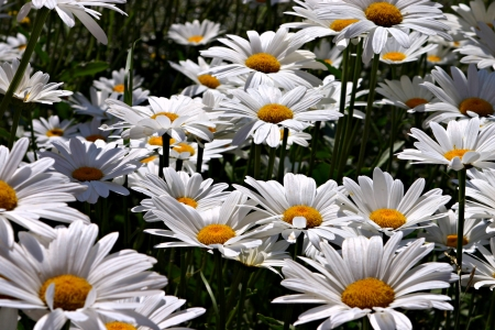 White daisies are wide opened to the morning sun Stock Photo