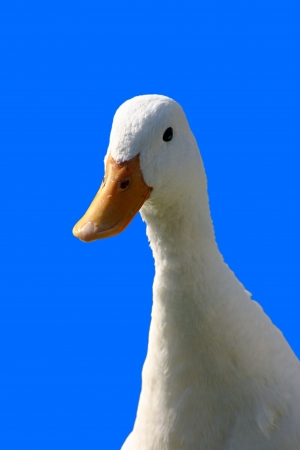Sweet white duck on blue background Stock Photo - 16921518