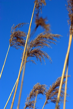 Yellow stems in the wind under a clean blue sky Stock Photo - 16921746
