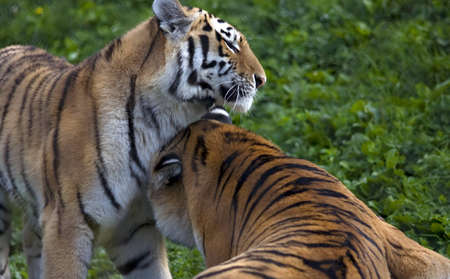 Two Tigers Playing with each other