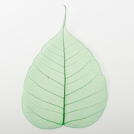 peepal tree: Bodhi leaves in green colour on white background