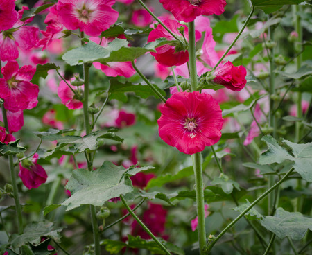 hock: Flowers in the garden,Flowers Holly Hock (Hollyhock) or (Mallow)