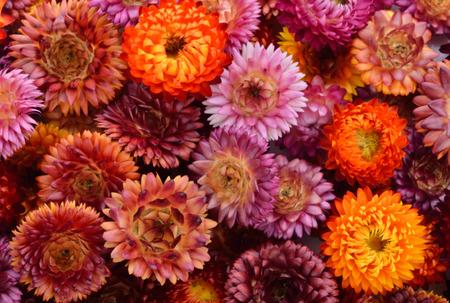 everlasting: Everlasting flower background