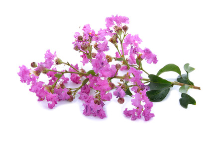 scent: branch of pink flowers lying on white background Stock Photo