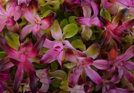 siam: Siam Tulip back ground