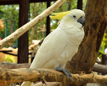 periquito: Retrato de Cockatoo Amarillo-con cresta, Tailandia Foto de archivo