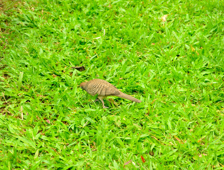 A zebra dove (Geopelia striata) foraging for food on the ground,