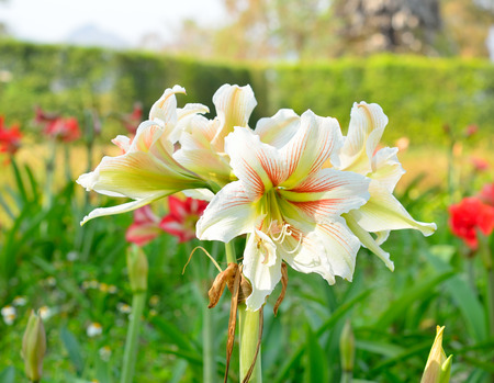 minerva: Hippeastrum Amaryllis white flowers Stock Photo