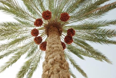 green dates: Palm Tree