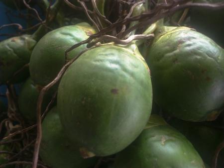 betelnut: Betel palm Stock Photo