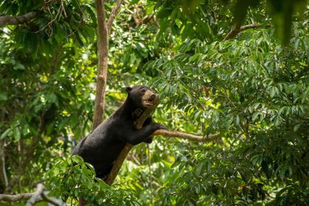 Malayan bear (sun bear) on a branch in Sepilok, Borneo, Malaysia 스톡 콘텐츠