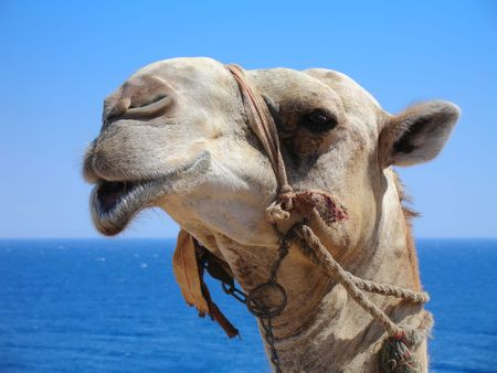 Portrait of a funny Camel with the Sea as the Background