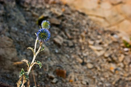 standing alone: Blue thistle standing alone on a mountain Stock Photo