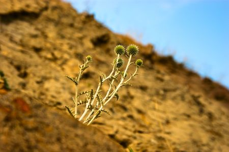 standing alone: Green thistle standing alone on a mountain