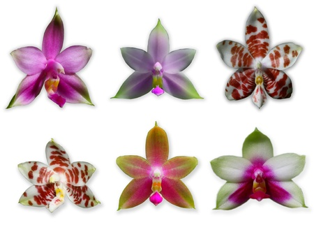 purple orchid: Collection of phalenopsis orchids