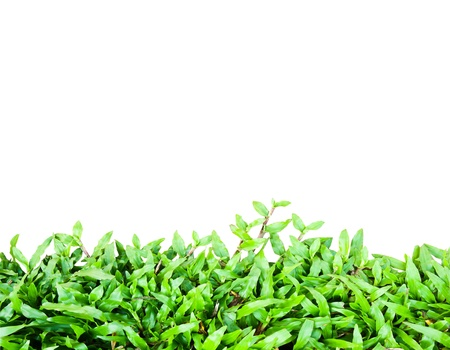 Green grass isolate2 Stock Photo - 8529775