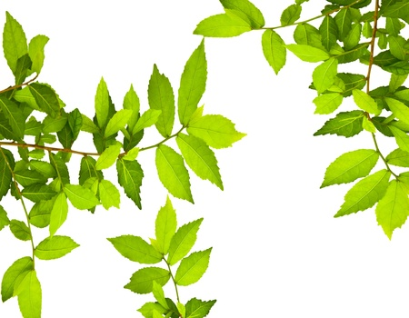 Green leaves over white background