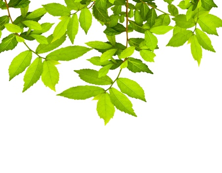 Green leave over white background with space for your text