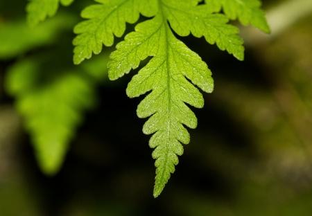 furl: Green fern