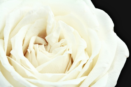White rose close for background Stock Photo
