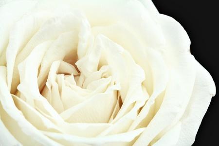 Witte roos dicht voor achtergrond