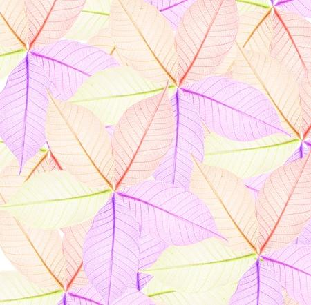 herbarium: background of multicolor Skeletons autumn leaves  Stock Photo