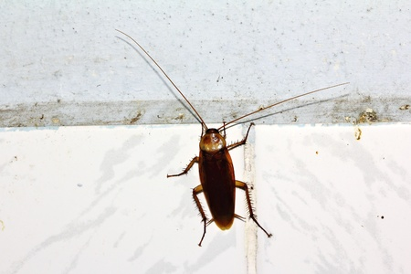 madagascar hissing cockroach: cockroach on wall Stock Photo