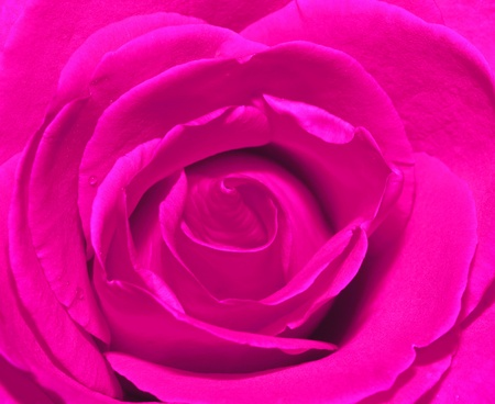 Pink rose petal background photo