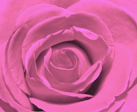 Pink rose petal background photo