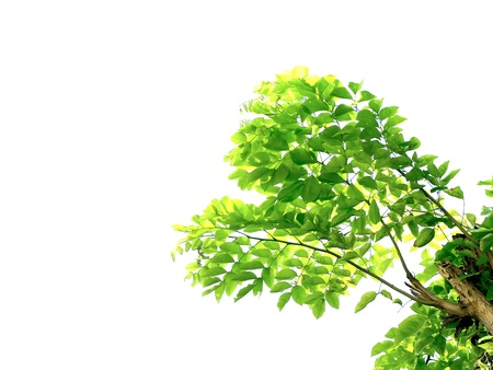 Green leaves branch on white background Stock Photo - 13009360