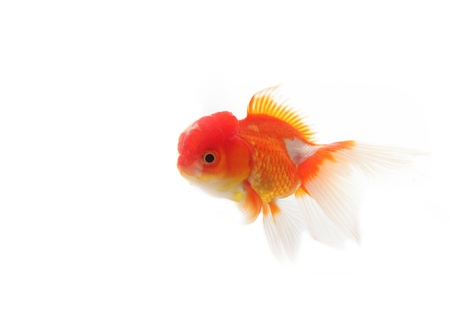 Gold fish on white background Stock Photo - 13288593