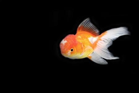 Gold fish on black background Stock Photo - 13288633