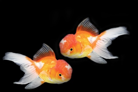Gold fish on black background Stock Photo - 13288635