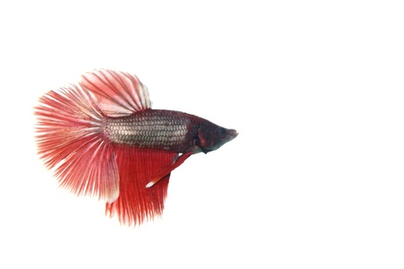crowd tail: Betta fish isolated on white background Stock Photo
