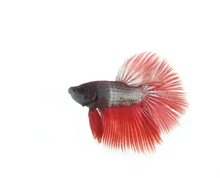 Red betta fish on white background photo