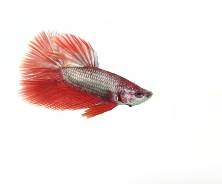 Red betta fish on white background Stock Photo - 13414173