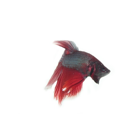 Red Better fish on white background Stock Photo - 13414165