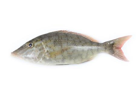 Long face fish on white background photo