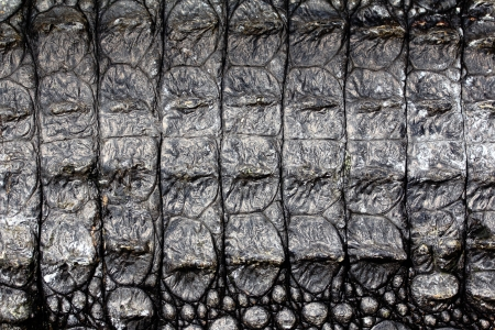 Alligator skin texture for background photo