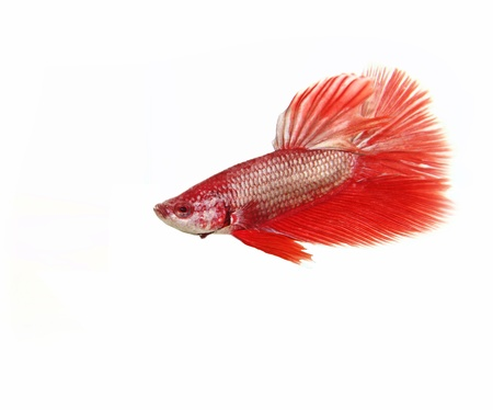 fire fin fighting: Red betta fish on white background