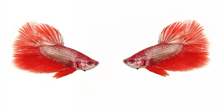 crowd tail: Two red betta fish on white background Stock Photo