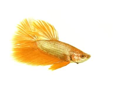 Gold betta fish on white background Stock Photo - 16165683