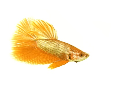 fire fin fighting: Gold betta fish on white background
