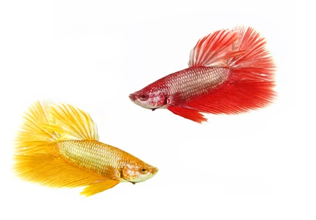 fish fire: Betta fish on white background