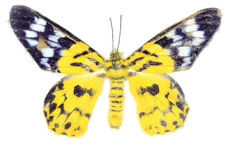 morpho: Yellow butterfly on white background
