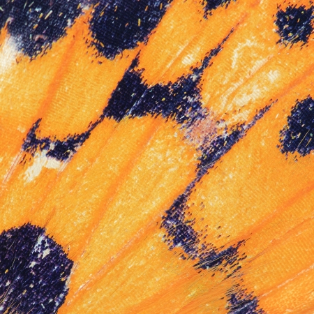 Butterfly wing texture, close up of detail of butterfly wing for background Stock Photo - 16842965